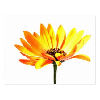 Spanish Margurit Flower Postcard