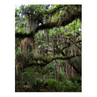 Spanish Moss Adorned Live Oak Postcard