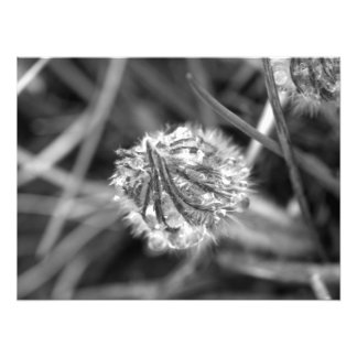 Sparkling Crocus in Black and White Photo Print
