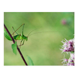 Speckled Bush-Cricket (Leptophyes punctatissima) Postcard
