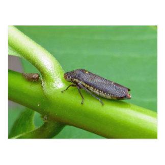 Speckled Sharpshooter Leaf Hopper Items Postcard