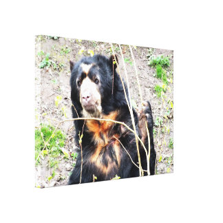 Spectacled bear stretched canvas prints