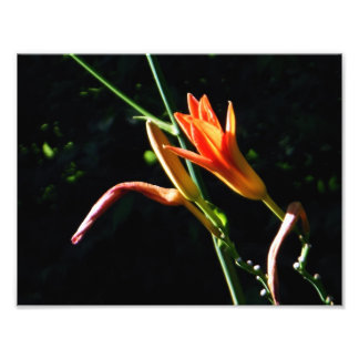 Spectacular Orange Daylilies Kodak Photo Print