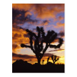 Spectacular Sunrise at Joshua Tree National Park Postcard