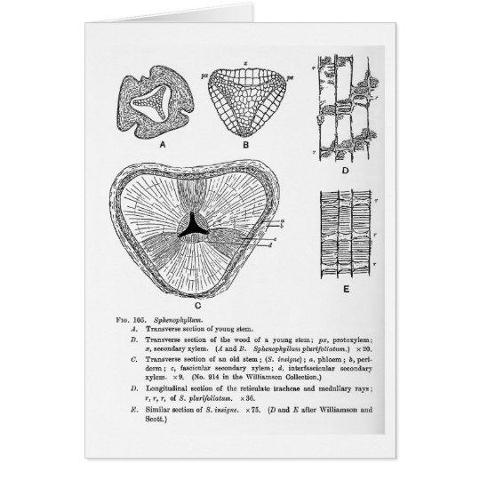 Sphenophyllum art card