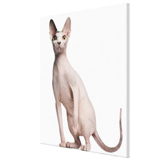 Sphynx (13 months old) gallery wrap canvas
