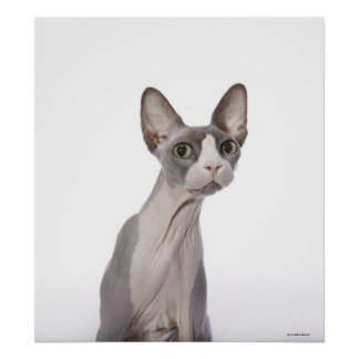 Sphynx Cat with surprised expression Print