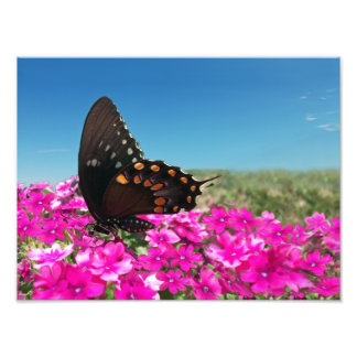 Spicebush Swallowtail Butterfly Photograph
