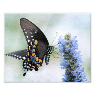 Spicebush Swallowtail butterfly photo print