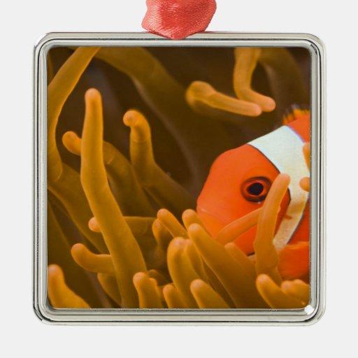 Spinecheek anemonfish, Tulamben, North Bali, Christmas Tree Ornaments