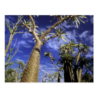 Spiny Forest Formed Of Pachypodium Trees Postcard