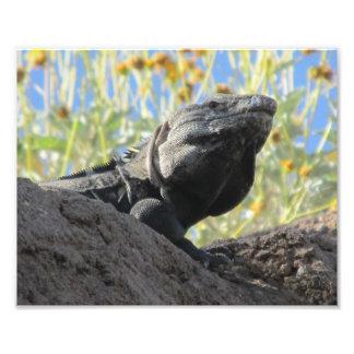 Spiny-tailed Iguana Photo