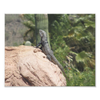 Spiny-tailed Iguana Photo Print