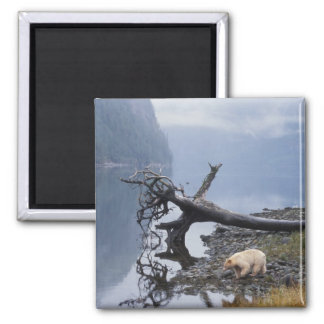 spirit bear, Kermode, black bear, sow with a Square Magnet