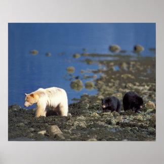 spirit bear, kermode, black bear, Ursus Poster