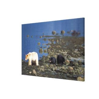 spirit bear, kermode, black bear, Ursus Stretched Canvas Prints
