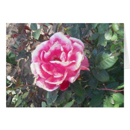 Splendid Red and White Rose Card