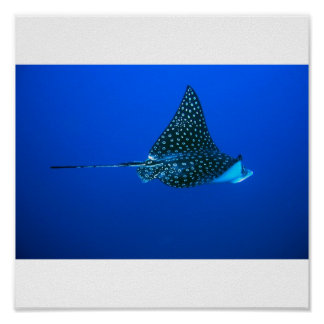 Spotted Eagle Ray, Belize 2006 Poster