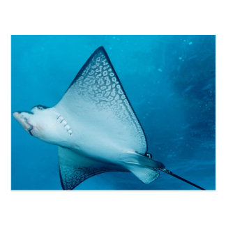 Spotted Eagle Ray Postcard