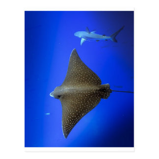 Spotted eagle ray & reef shark underwater postcard