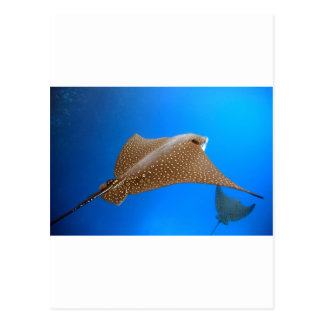 Spotted eagle ray underwater Galapagos paradise Postcard