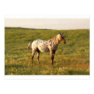 Spotted Horse Stallion Postcard