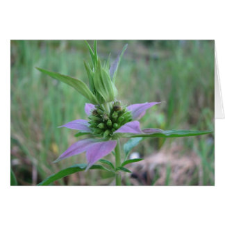 Spotted Horsemint, M. punctata Card