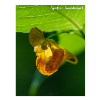 Spotted Jewelweed Yellow Wildflower Name Postcard