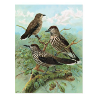 Spotted Nutcracker Vintage Bird Illustration Postcard