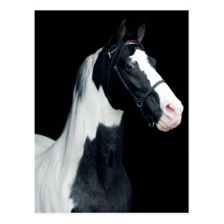 Spotted Saddle Horse Postcard