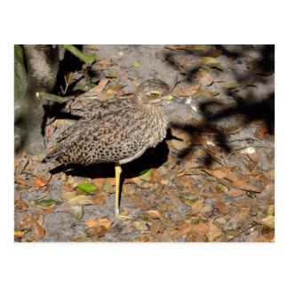 Spotted Thick-knee Dikkop Postcard