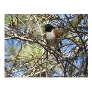 Spotted Towhee Postcard