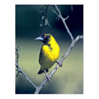 Spottedbacked Weaver Postcard