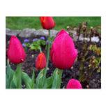 Spring Blooming Hot Pink Tulips Postcard