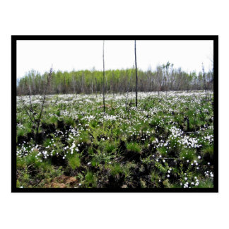 Spring Cotton grass on Grid 37394 Post Card