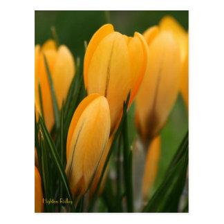 Spring Crocuses Postcard