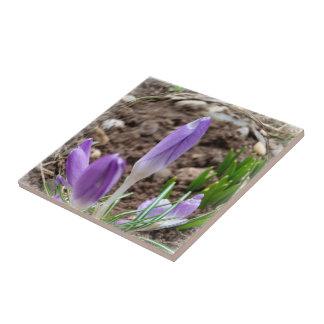 Spring crocuses tile