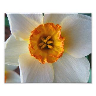 Spring Daffodil Print Photograph