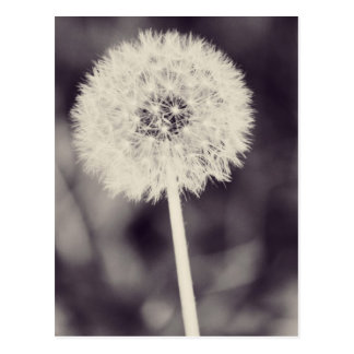Spring Dandelion Postcard