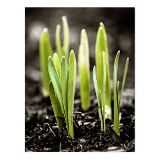 Spring green shoots postcard