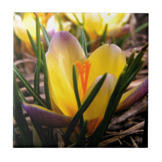 Spring in the air, Crocus are blooming! Tile