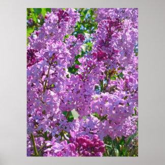 Spring Lilacs Poster