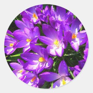 Spring Purple Crocus Flower Round Sticker