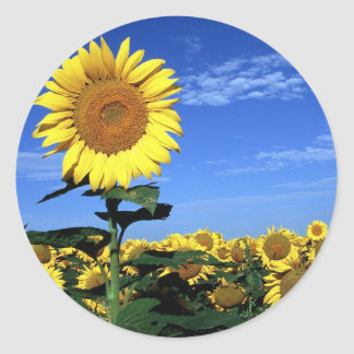 Spring Sunflower Classic Round Sticker