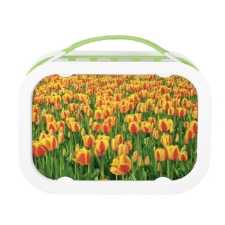 Spring tulips bloom in front of old barn. lunch boxes