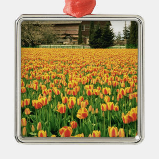 Spring tulips bloom in front of old barn. Silver-Colored square decoration