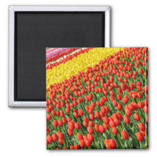 Spring tulips print magnet