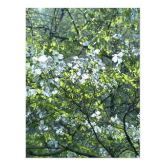 spring white dogwood flowers postcard