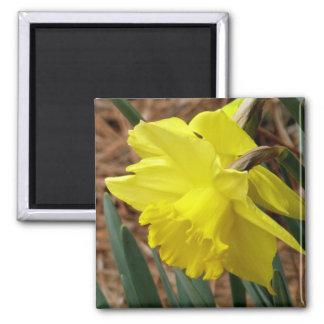 Springtime daffodil magnet