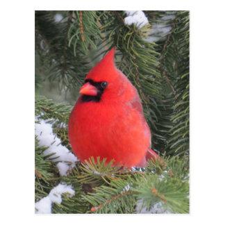 Spruce cardinal postcard